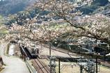 桜電車がゆく
