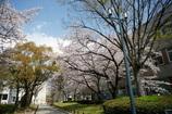 桜まつりの昼