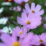 SONY DSLR-A900で撮影した植物(優しい色)の写真(画像)