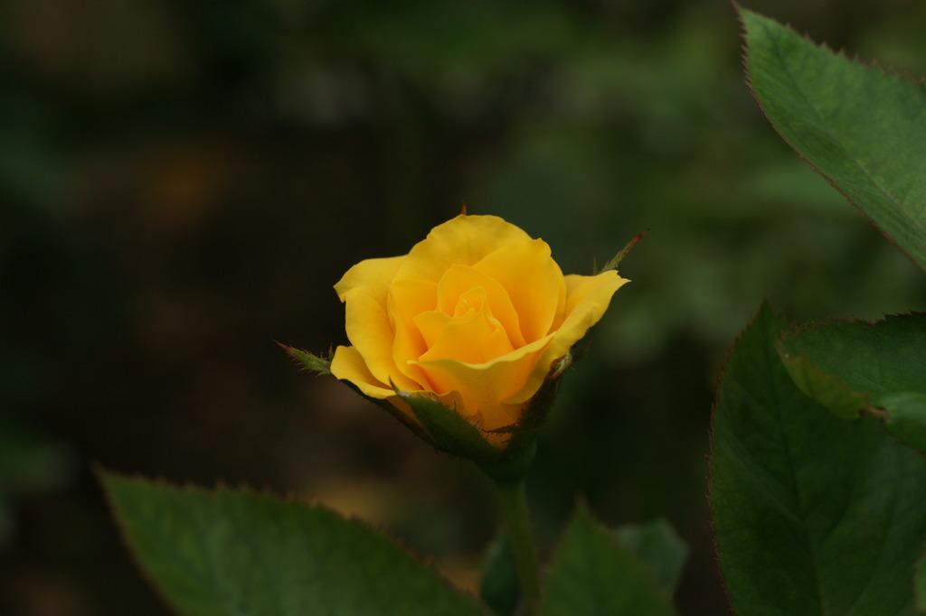 サプライズ (Rosa Surprise)