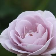 CANON Canon EOS 7Dで撮影した(ばら5)の写真(画像)