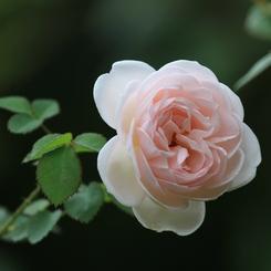 CANON Canon EOS 7Dで撮影した植物(ばら8)の写真(画像)