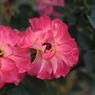 CANON Canon EOS 7Dで撮影した(ばら14)の写真(画像)