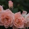 CANON Canon EOS 7Dで撮影した(ばら16)の写真(画像)