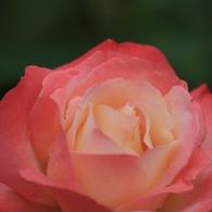 CANON Canon EOS 7Dで撮影した(ばら6)の写真(画像)