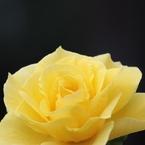 CANON Canon EOS 7Dで撮影した(ばら1)の写真(画像)