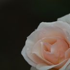 CANON Canon EOS 7Dで撮影した(ばら4)の写真(画像)