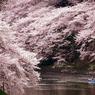 二人だけの桜