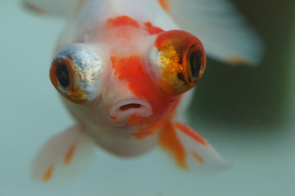 目出度い金魚