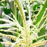 RICOH CX1で撮影した植物(とうきび)の写真(画像)