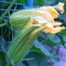 RICOH CX1で撮影した植物(かぼちゃ)の写真(画像)