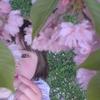桜見上げる娘