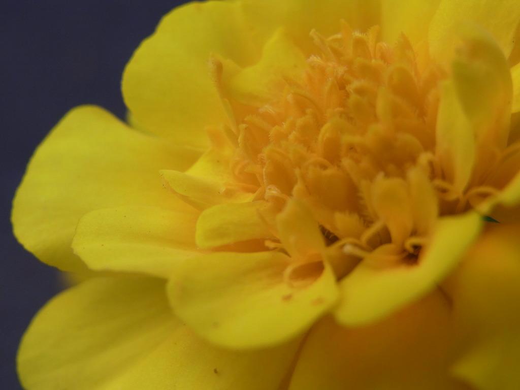 花 マリーゴールド