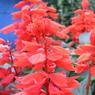 RICOH CX1で撮影した(赤い花)の写真(画像)