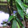 RICOH CX1で撮影した(笹の葉)の写真(画像)
