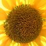 RICOH CX1で撮影した植物(ひまわり)の写真(画像)