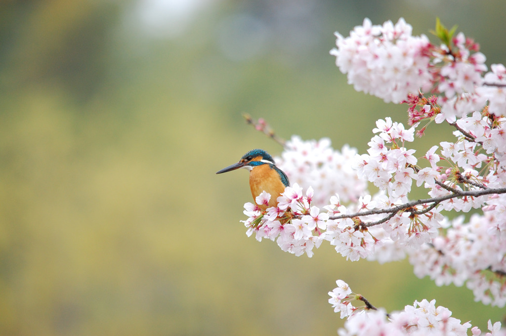 桜&カワセミ