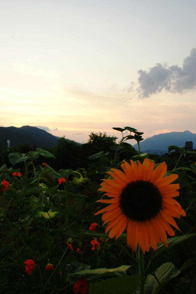 向日葵と夕刻