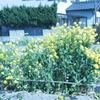 褪 菜の花