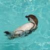 背泳ぎペンギン