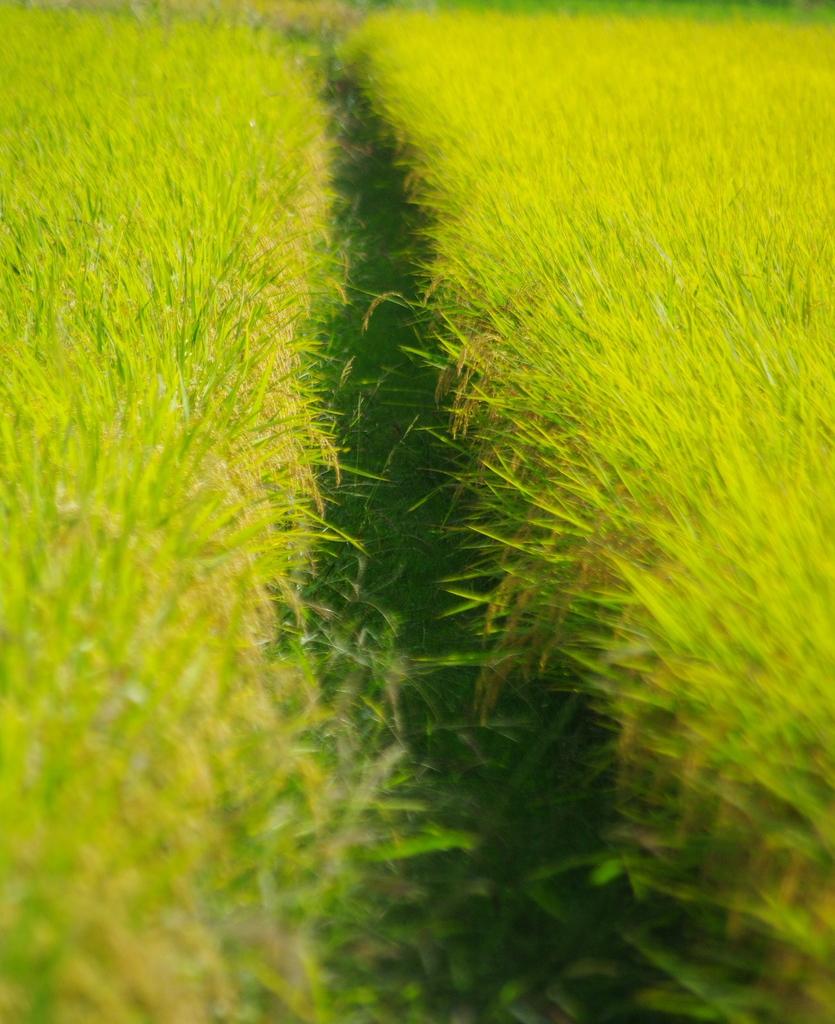 実りの中の畦道