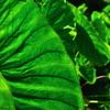 緑のハッパ