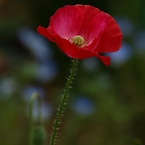 OLYMPUS E-520で撮影した植物(雛罌粟)の写真(画像)