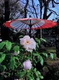 牡丹苑の風景(上野・東照宮)