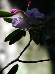 季節の花(石楠花)