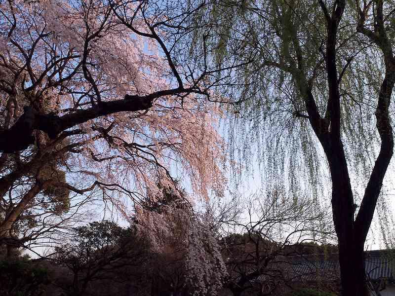 枝垂れ桜と柳