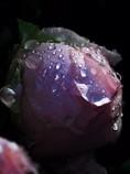 雨上がり(寒牡丹)
