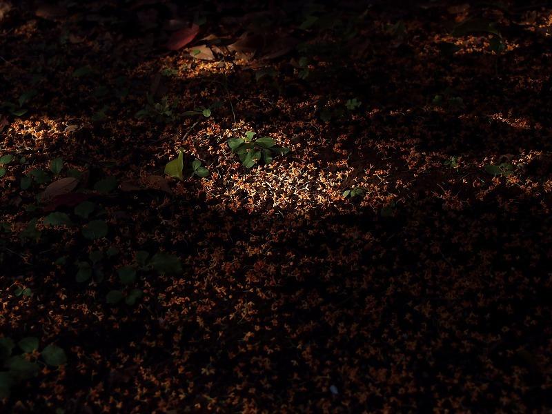 返景〔差し込む光〕と金木犀落花