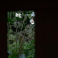 OLYMPUS E-520で撮影した植物(北鎌倉・明月院にて)の写真(画像)