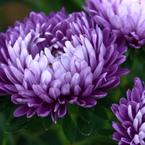 CANON Canon EOS Kiss X2で撮影した植物(紫)の写真(画像)
