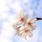CANON Canon EOS Kiss X2で撮影した植物(さくら)の写真(画像)