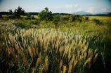 タデ原湿原のススキ