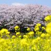 2010年桜の写真_19