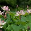 蓮の花たち
