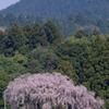 2010年桜の写真_13