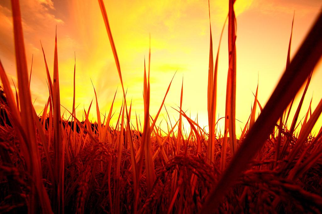 イネと秋空と夕焼け
