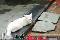 上海街道的猫