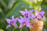 温室の蘭たち 1