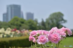 Shinjuku Roses