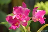 温室の蘭たち 2