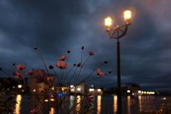 港のコスモス