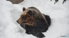 旭山動物園 熊