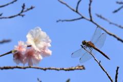 トンボと桜