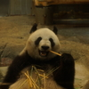Giant panda is eating pieces of bamboo