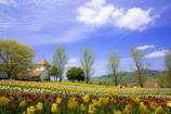 チューリップ畑と雲