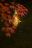 彩鯉(いろこい)